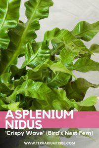 Asplenium Nidus (Crispy Wave Fern)