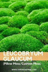 Leucobryum Glaucum (Pillow Moss)