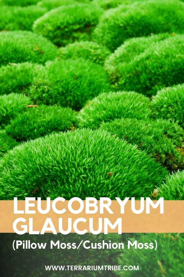 Leucobryum Glaucum Cushion Moss Terrarium Tribe