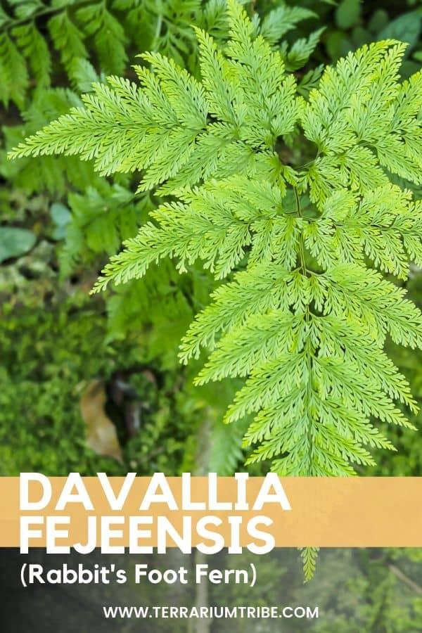 Davallia Fejeensis (Rabbit's Foot Fern)