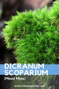 Dicranum Scoparium (Mood Moss)