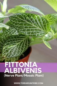 Fittonia Albivenis (Nerve Plant)