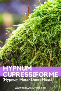 Hypnum Cupressiforme (Sheet Moss/Hypnum Moss))