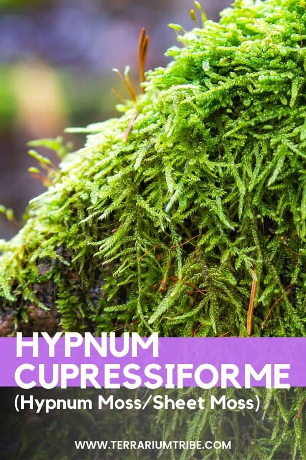 Hypnum Cupressiforme Hypnum Moss Terrarium Tribe