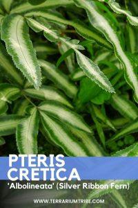 Pteris Cretica Albolineata (Silver Ribbon Fern)