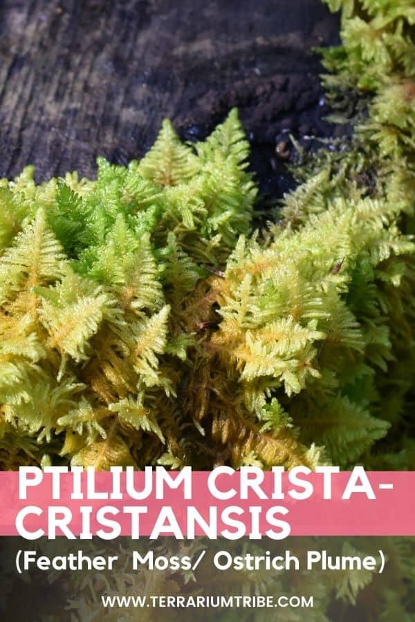 Ptilium crista-cristansis (Feather Moss)