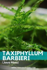 Taxiphyllum barbieri (Java Moss)