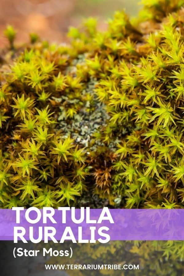 Tortula Ruralis (Star Moss)