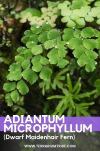 Adiantum microphyllum (Dwarf Maidenhair Fern)
