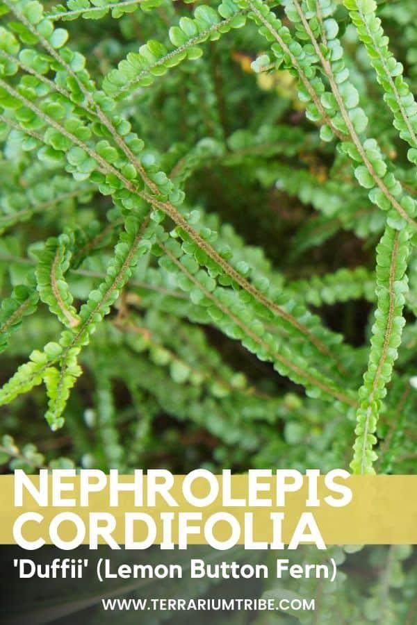 Nephrolepis cordifolia 'Duffii' (Lemon Button Fern)