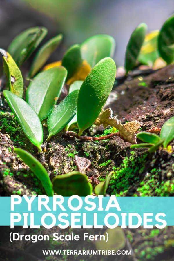 Pyrrosia Piloselloides (Dragon Scale Fern)