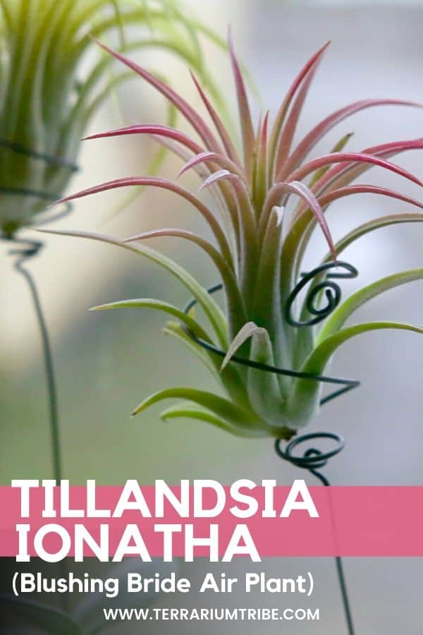 Tillandsia Ionantha (Blushing Bride Air Plant)