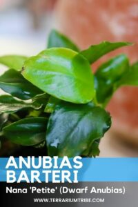 Anubius Barteri Nana 'Petite' (Dwarf Anubias)