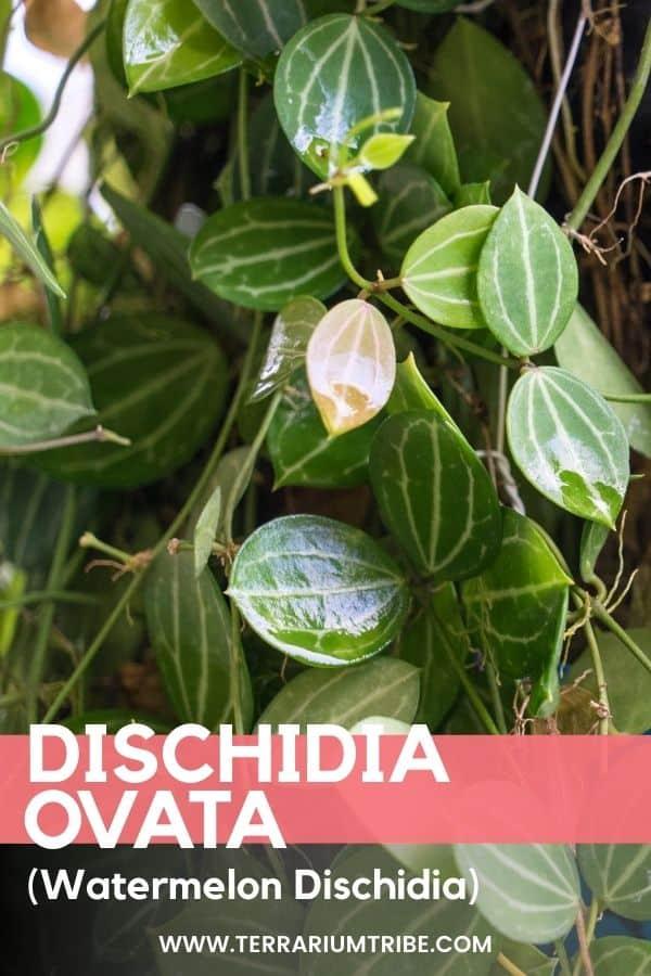 Dischidia ovata (Watermelon Dischidia)