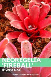 Neoregelia 'Fireball' (Neo)