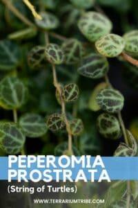 Peperomia prostrata (String of Turtles)