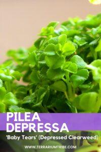 Pilea Depressa 'Baby Tears'