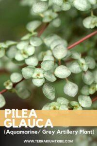 Pilea glauca (Aquamarine)