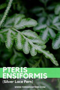 Pteris ensiformis (Silver Lace Fern)
