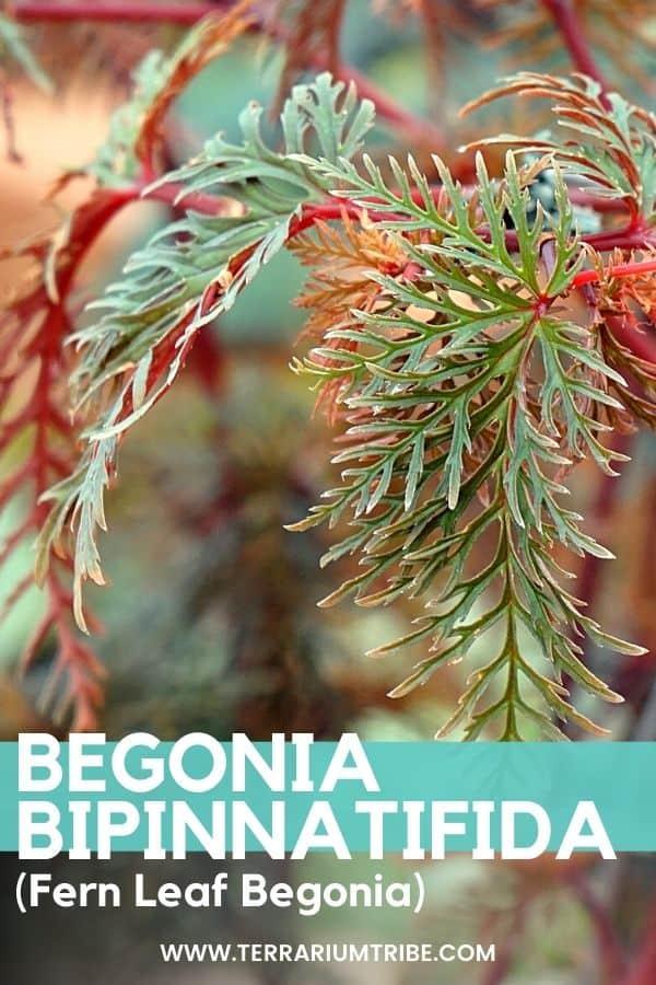 Begonia bipinnatifida (Fern Leaf Begonia)