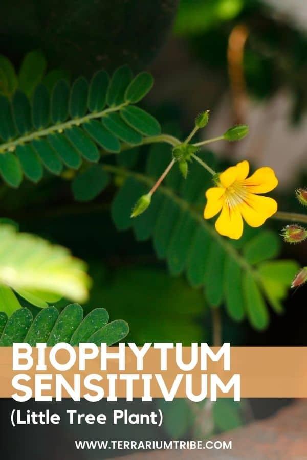 Biophytum sensitivum (Little Tree Plant)