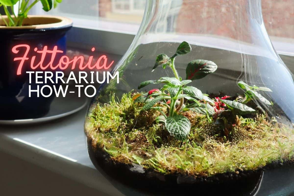 How To Make A Fittonia Terrarium Terrarium Tribe
