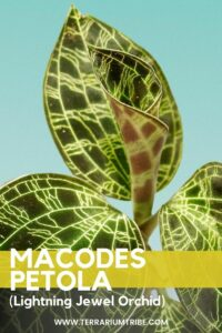 Macodes petola (Lightning Jewel Orchid)