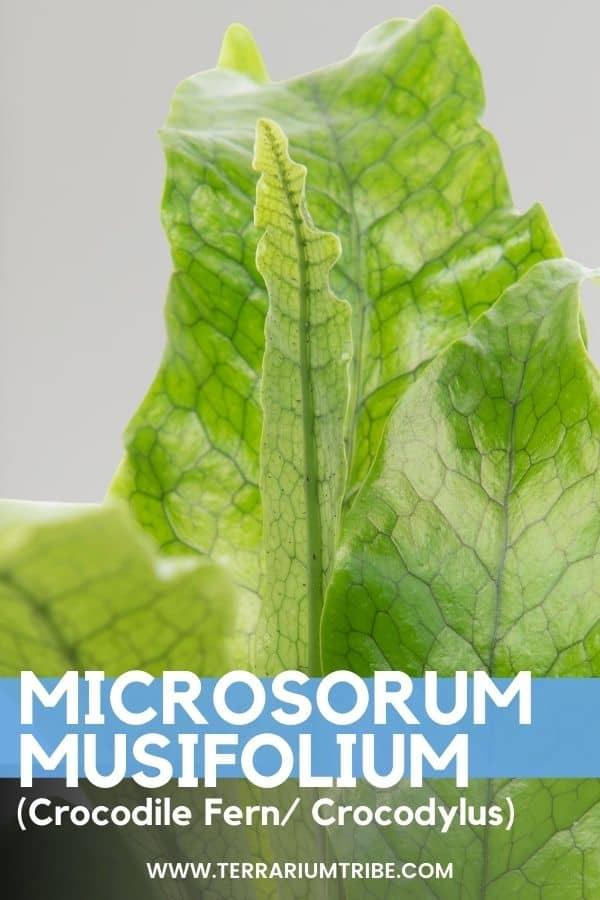 Microsorum musifolium (Crocodile Fern)