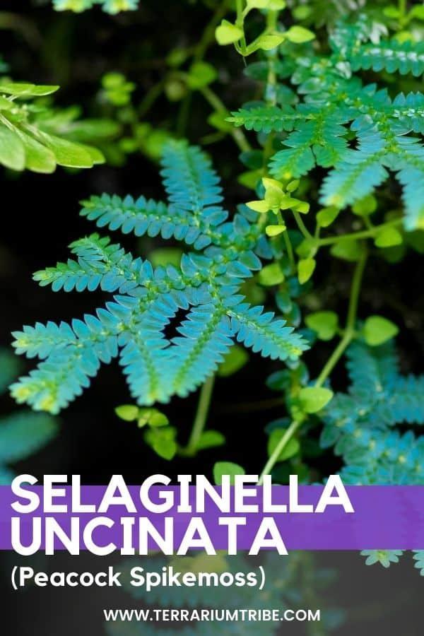 Selaginella uncinata (Peacock Spikemoss)