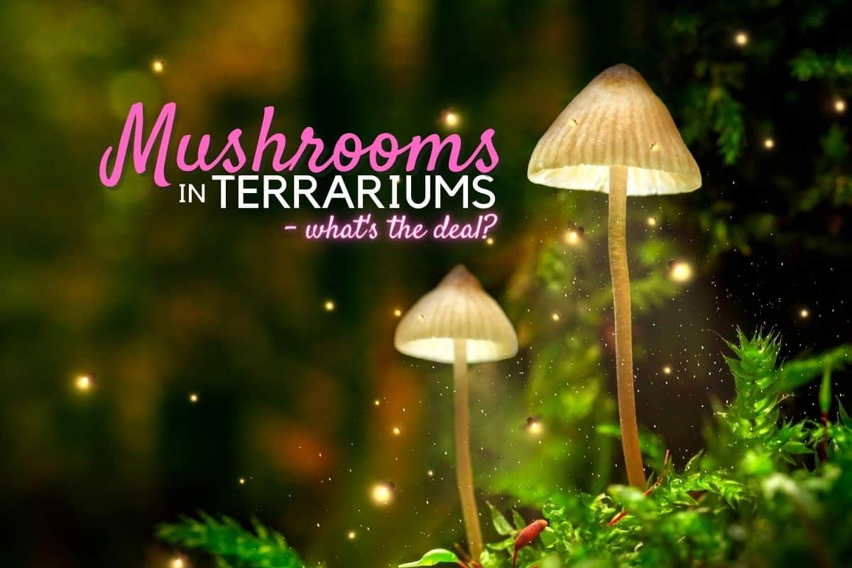 Mushrooms In Terrariums What Are They There Spore Terrarium Tribe