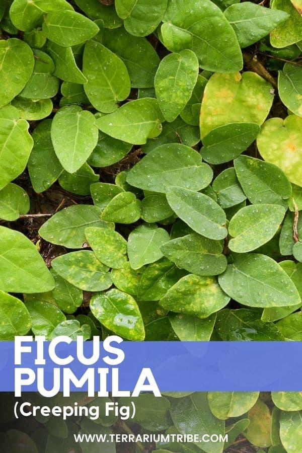 Ficus pumila (Creeping Fig)