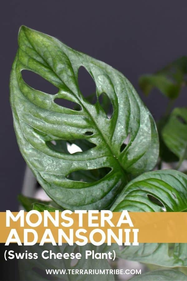 Monstera adansonii (Swiss Cheese Plant)