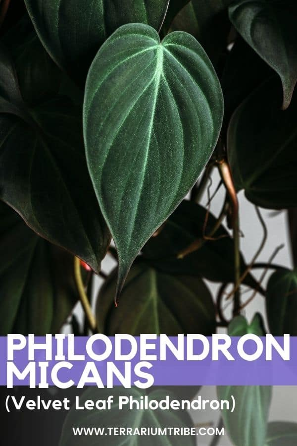 Philodendron micans (Velvet Leaf Philodendron)