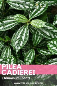 Pilea cadierei (Aluminium Plant)