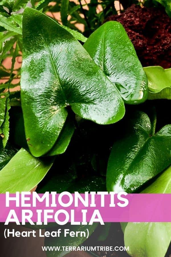 Hemionitis arifolia (Heart Leaf Fern)