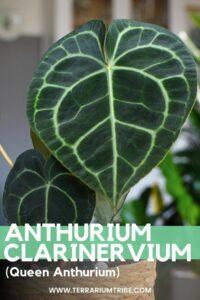 Anthurium clarinervium (Queen Anthurium)