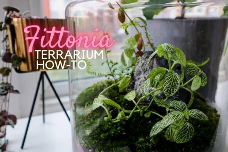 Fittonia Terrarium