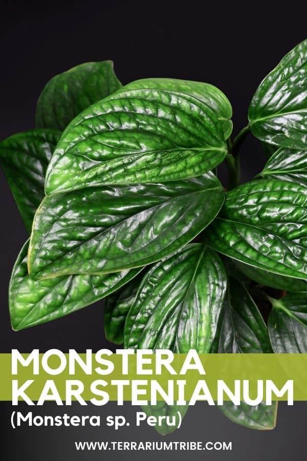 Monstera karstenianum (Monstera Peru)