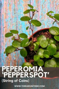 Peperomia 'Pepperspot' (String of Coins)