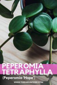 Peperomia 'Hope'