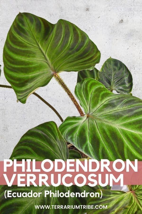 Philodendron verrucosum (Ecuador Philodendron)