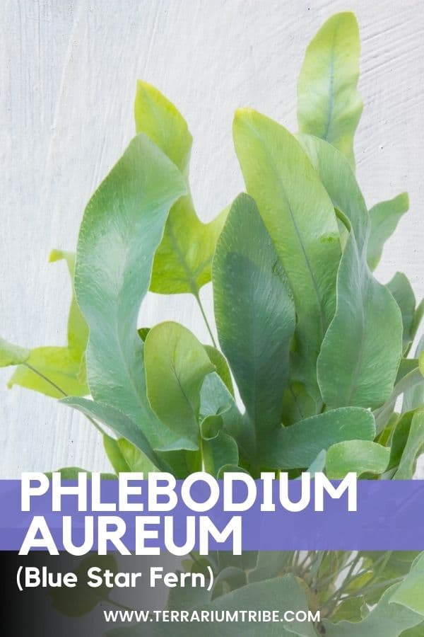 Phlebodium aureum (Blue Star Fern)