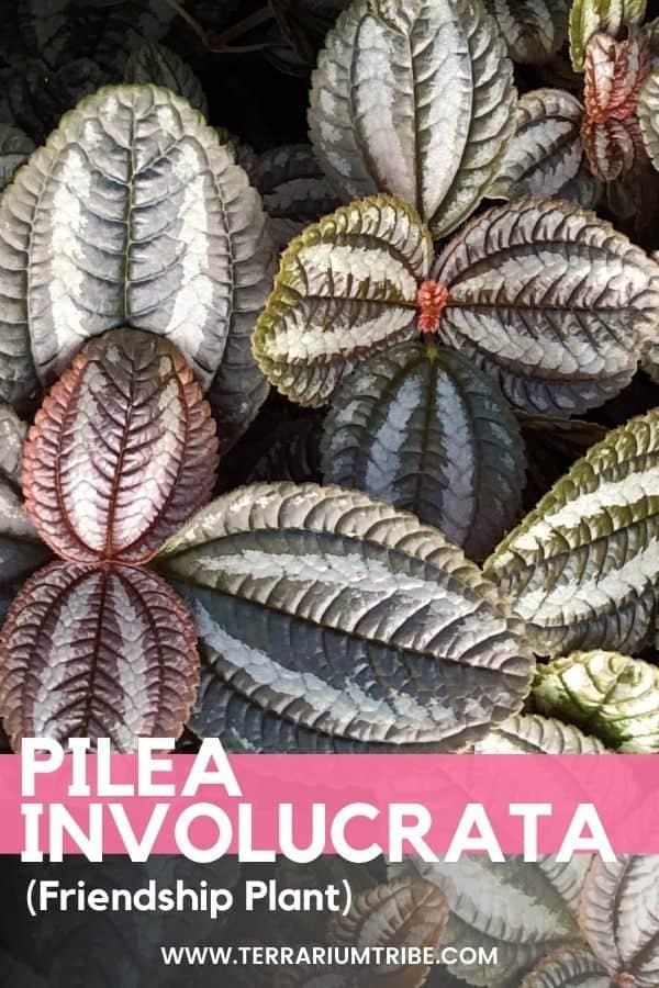 Pilea involucrata (Friendship Plant)