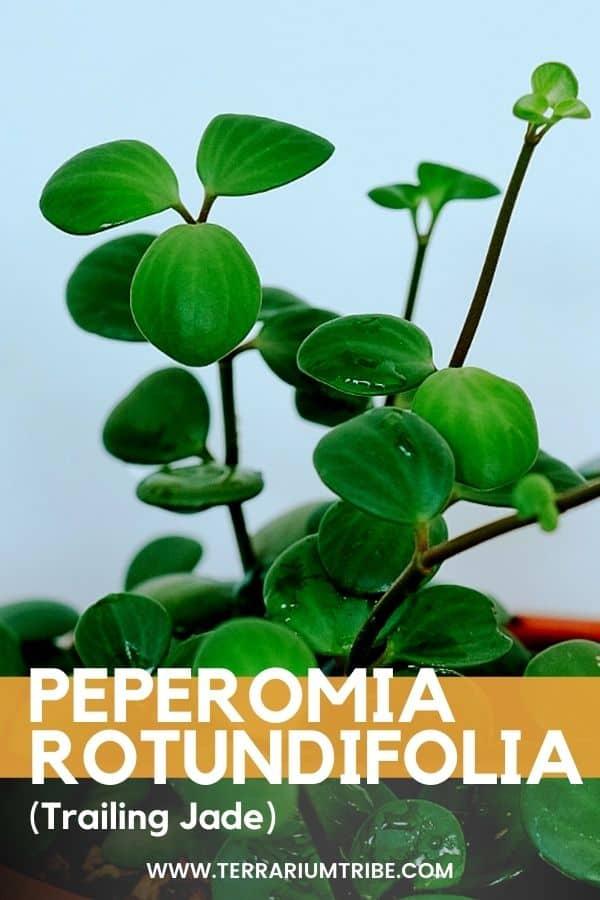 Peperomia rotundifolia (Trailing Jade)