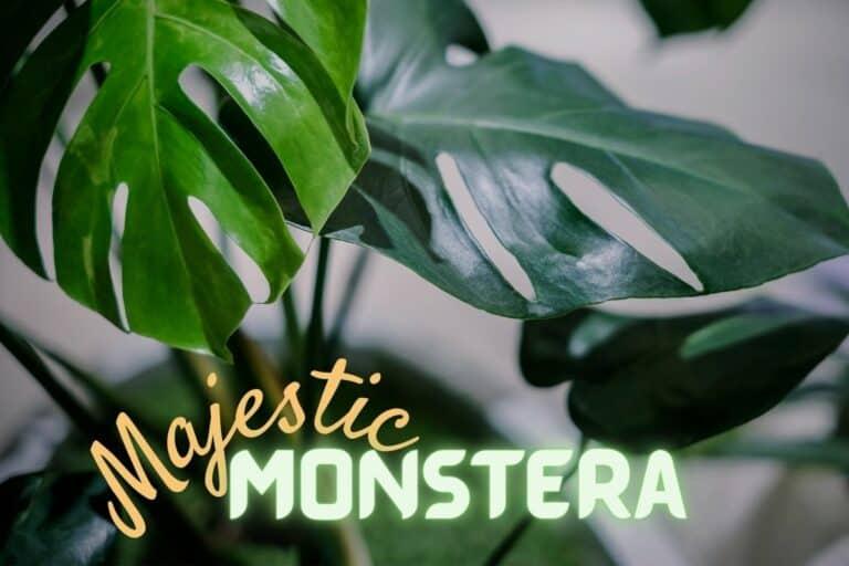 Monstera Varieties