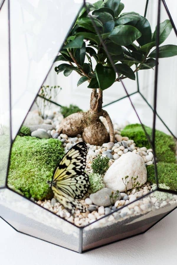 Ficus bonsai terrarium