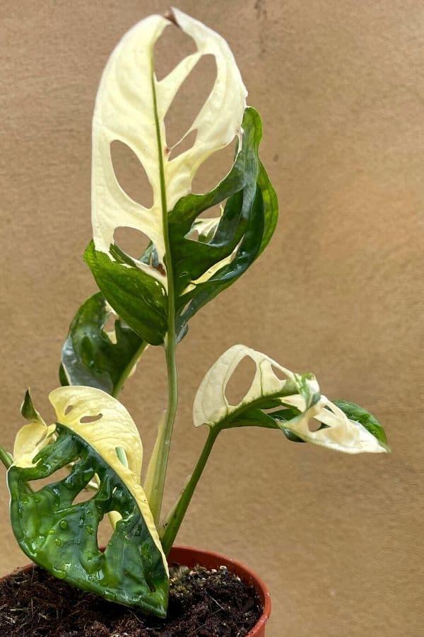 Monstera adonsonii 'Variegata' also has very pronounced variegation.