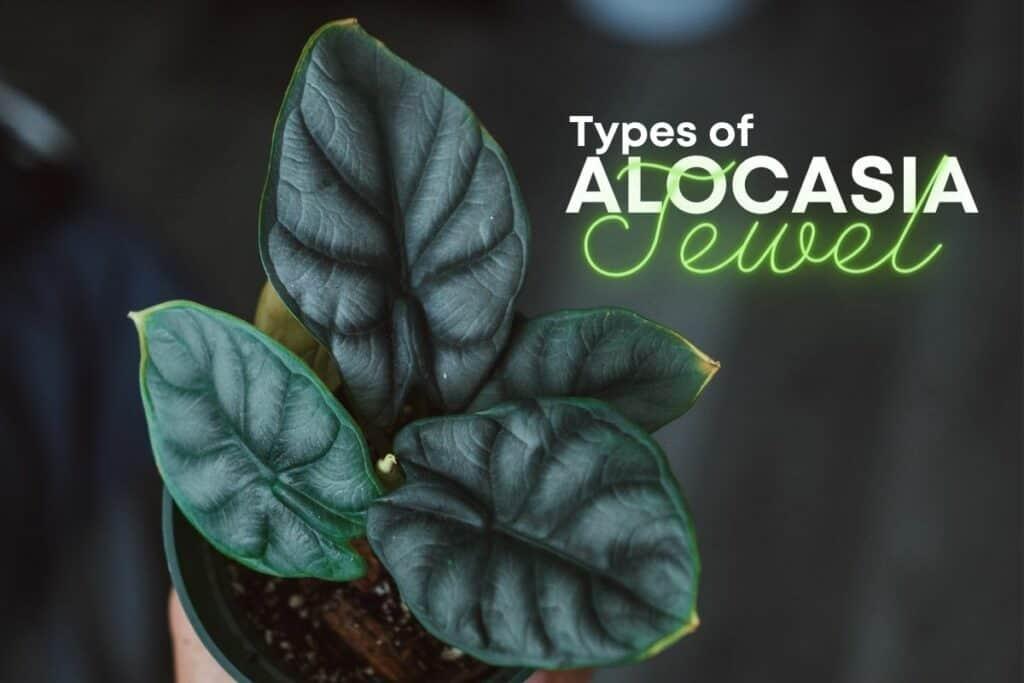 Types of Jewel Alocasia