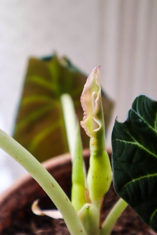 The early stages of my Alocasia Black Velvet flowering.