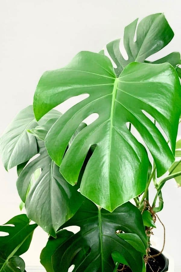Huge leaves of Monstera deliciosa (Swiss Cheese Plant)